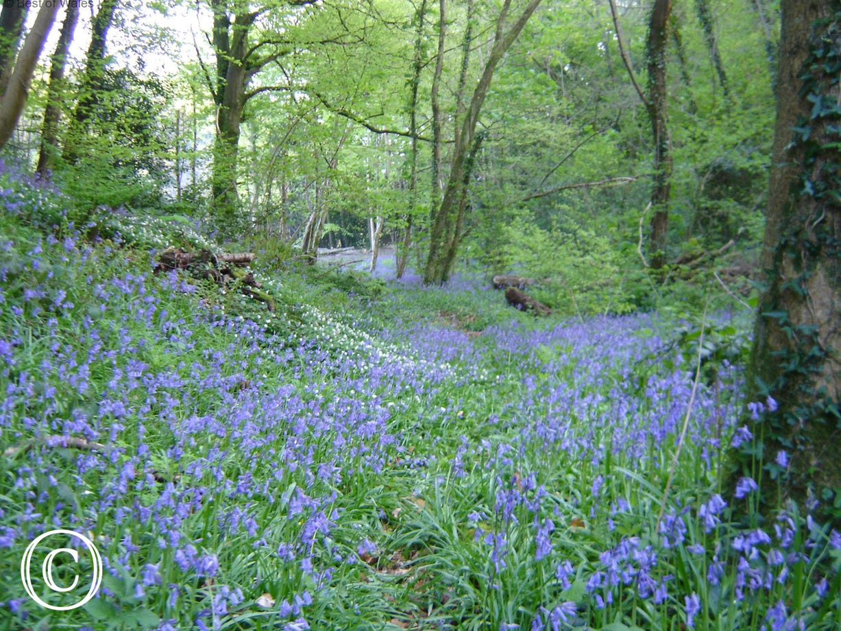 Several acres of natural bluebell woodland